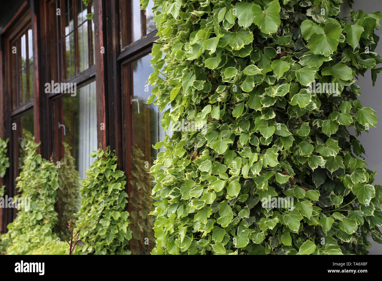 Ivy. creeping shrubs clinging to their adventitious roots of the walls. - Stock Image