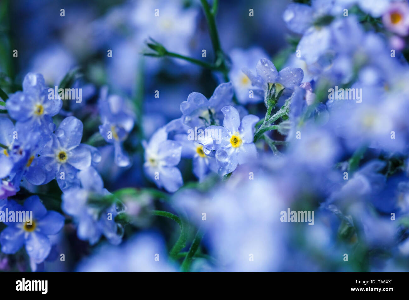 Gentle blue flowers forget-me-nots for heart present - Stock Image