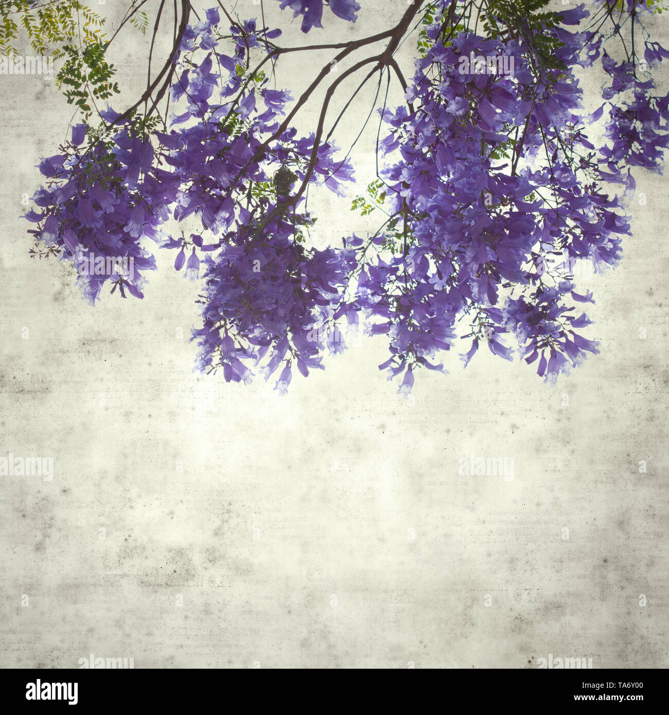 textured stylish old paper background, square, with lilac jacaranda flowers - Stock Image