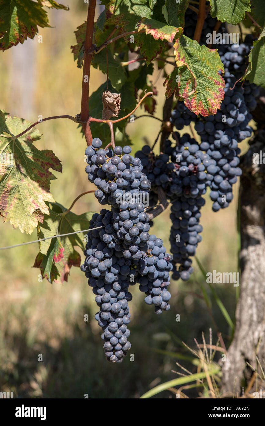 Red wine grapes ready to harvest and wine production. Saint Emilion, France - Stock Image