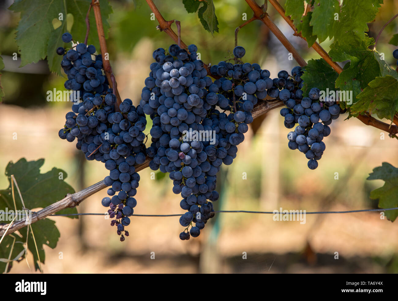 Close up of red merlot grapes in vineyard. St Emilion, Gironde, Aquitaine. France - Stock Image
