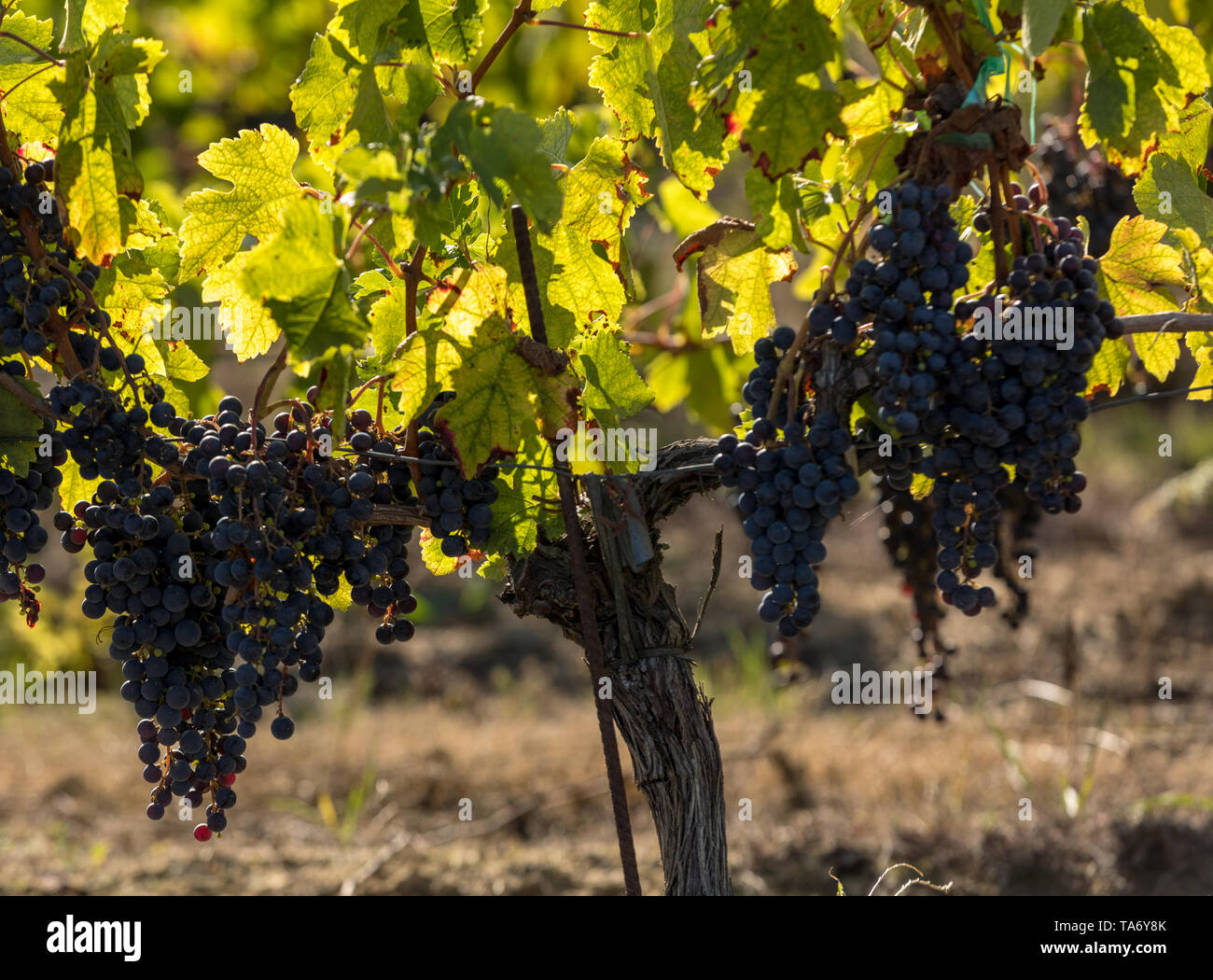 Red wine grapes ready to harvest and wine production. Medoc, France - Stock Image