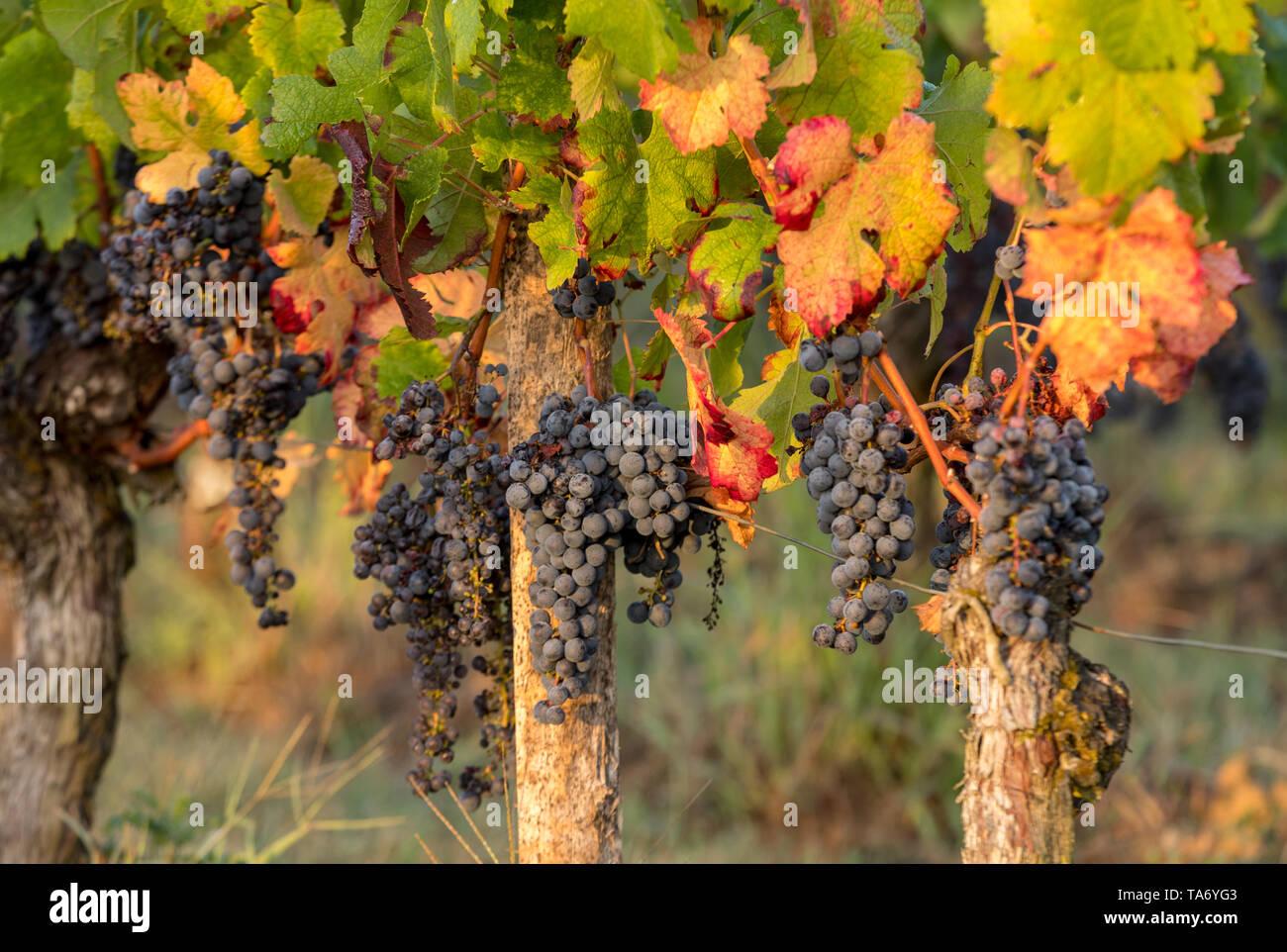 Morning light in the vineyards of Saint Georges de Montagne near Saint Emilion, Gironde, France - Stock Image