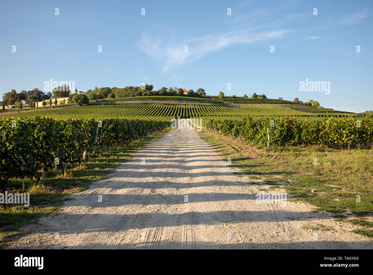 Ripe red Merlot grapes on rows of vines in a vienyard before the wine harvest in Saint Emilion region. France - Stock Image