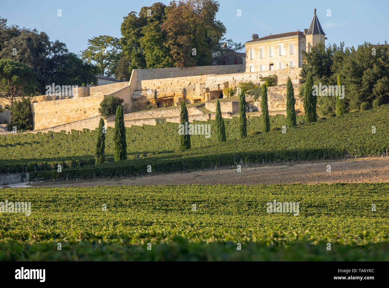 Ripe red grapes on rows of vines in vienyard of Clos La Madeleine  before the wine harvest in Saint Emilion region. France - Stock Image