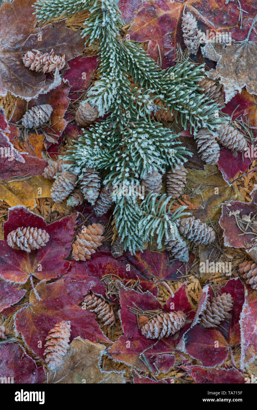 Frost on Spruce boughs and cones, with frosted Red Maple leaves (Acer rubrum), E North America, by Skip Mood/Dembinsky Photo Assoc - Stock Image