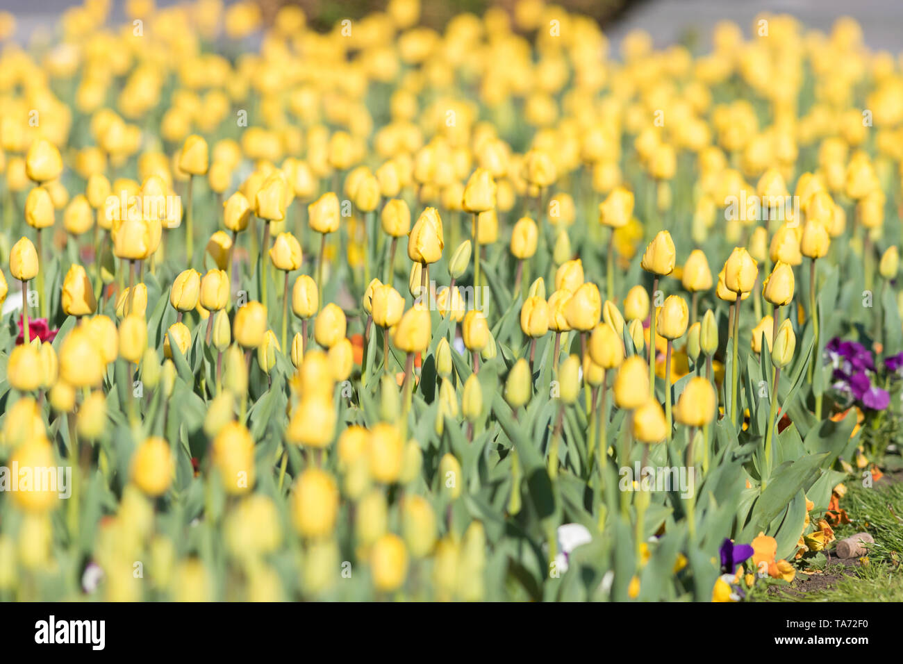 Yelow Tulips on the field with two puprle flowers, flower beds in outdoor Stock Photo