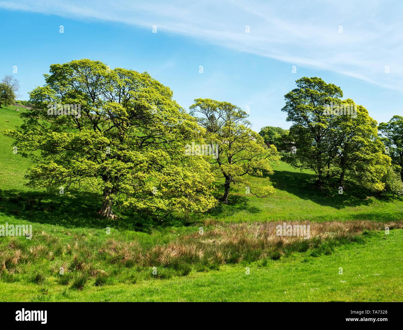 Oak trees in the Nidderdale AONB near Pateley Bridge North Yorkshire England - Stock Image
