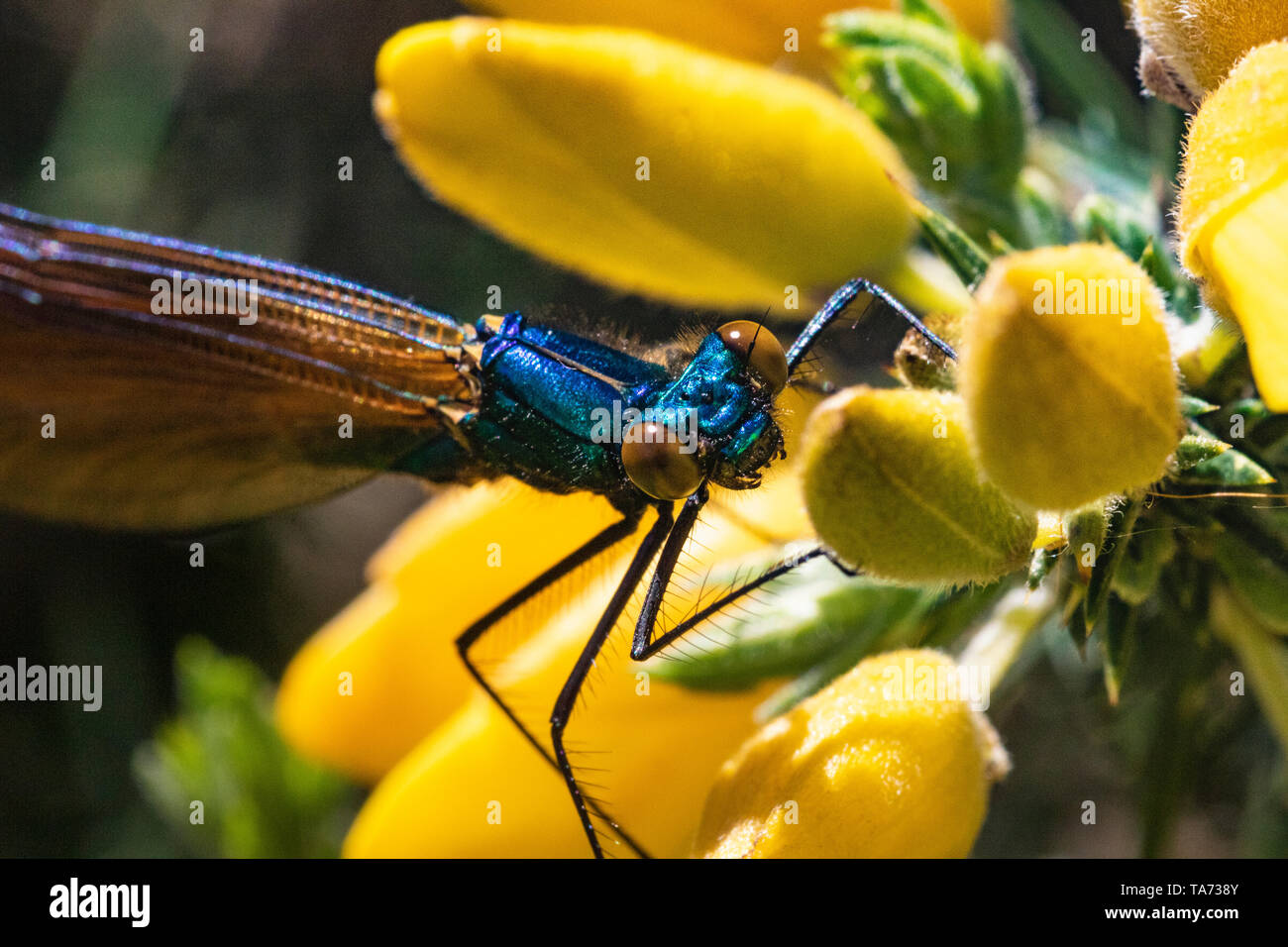 Detailed Head Shot of a Male Demoiselle Agrion Damselfly (Calopteryx virgo) Resting on a Gorse Flower on a Warm Spring Day. Stock Photo