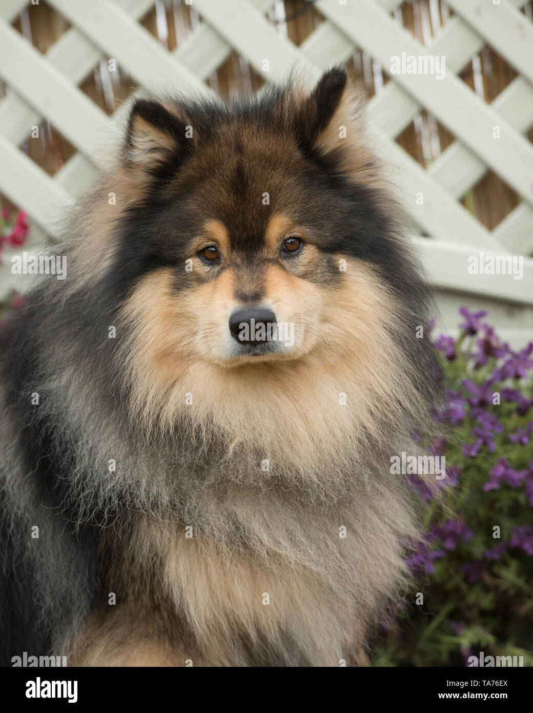 Hunting Spitz Stock Photos & Hunting Spitz Stock Images - Alamy