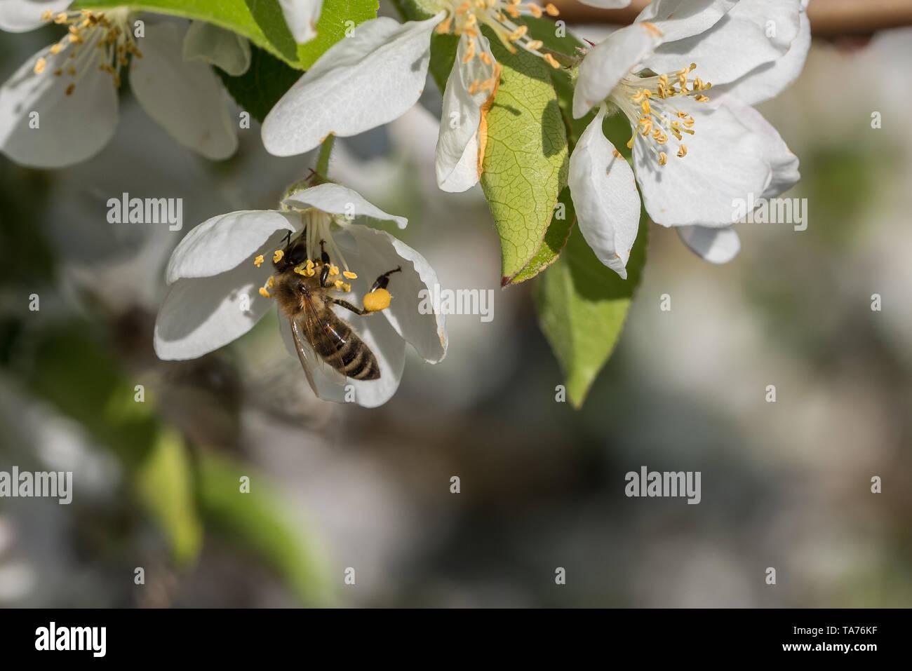 Honeybee is feeding on white flower in spring morning. - Stock Image