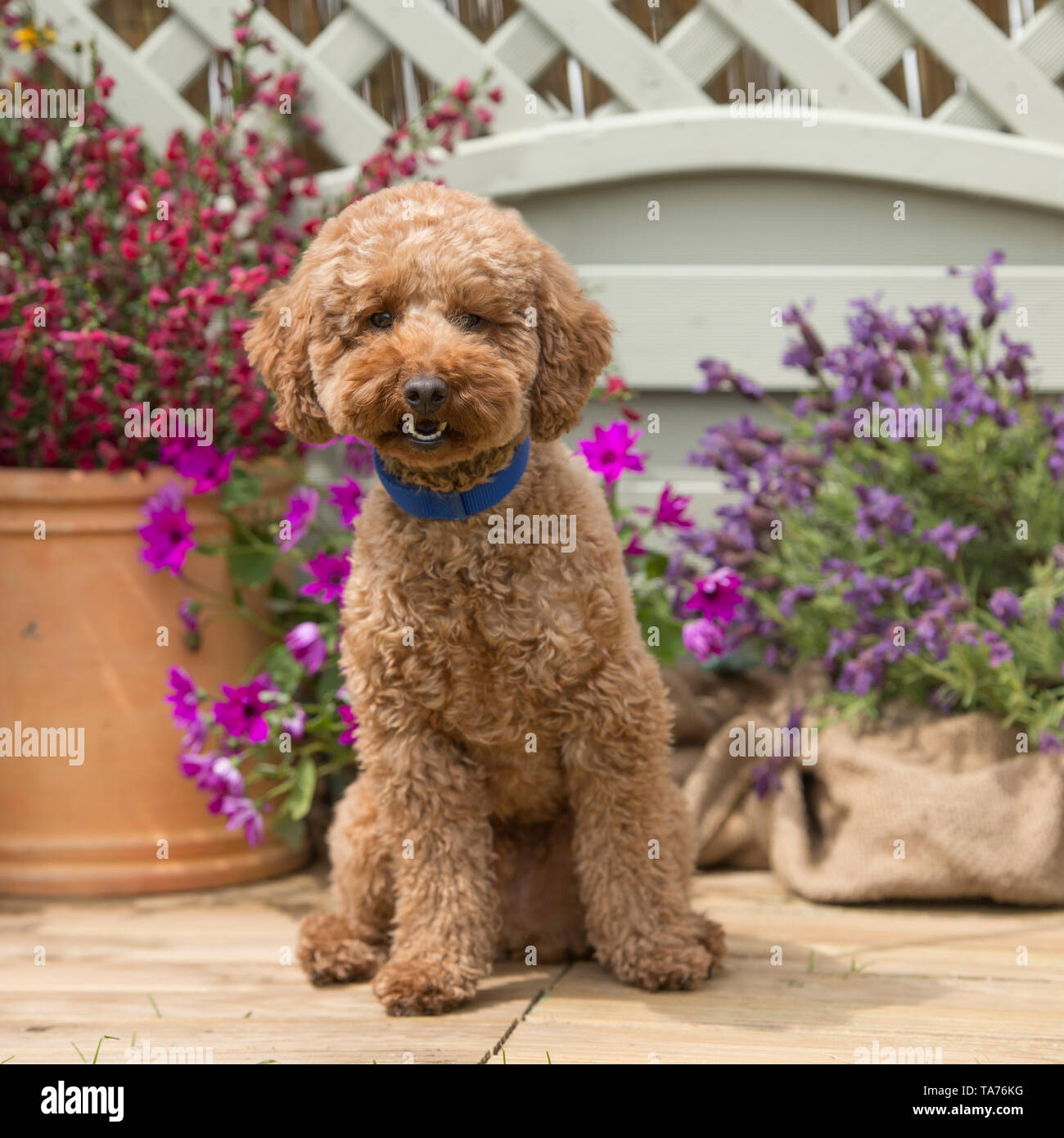 Apricot Miniature Poodle Dog High Resolution Stock Photography And Images Alamy