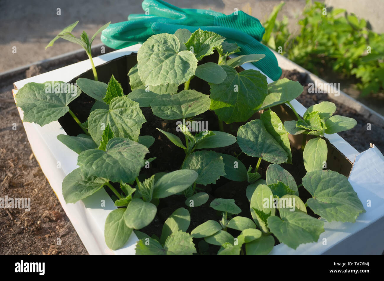 Cucumber seedlings in a cardboard eco-friendly container are ready for planting in a greenhouse. Spring work in the garden. - Stock Image