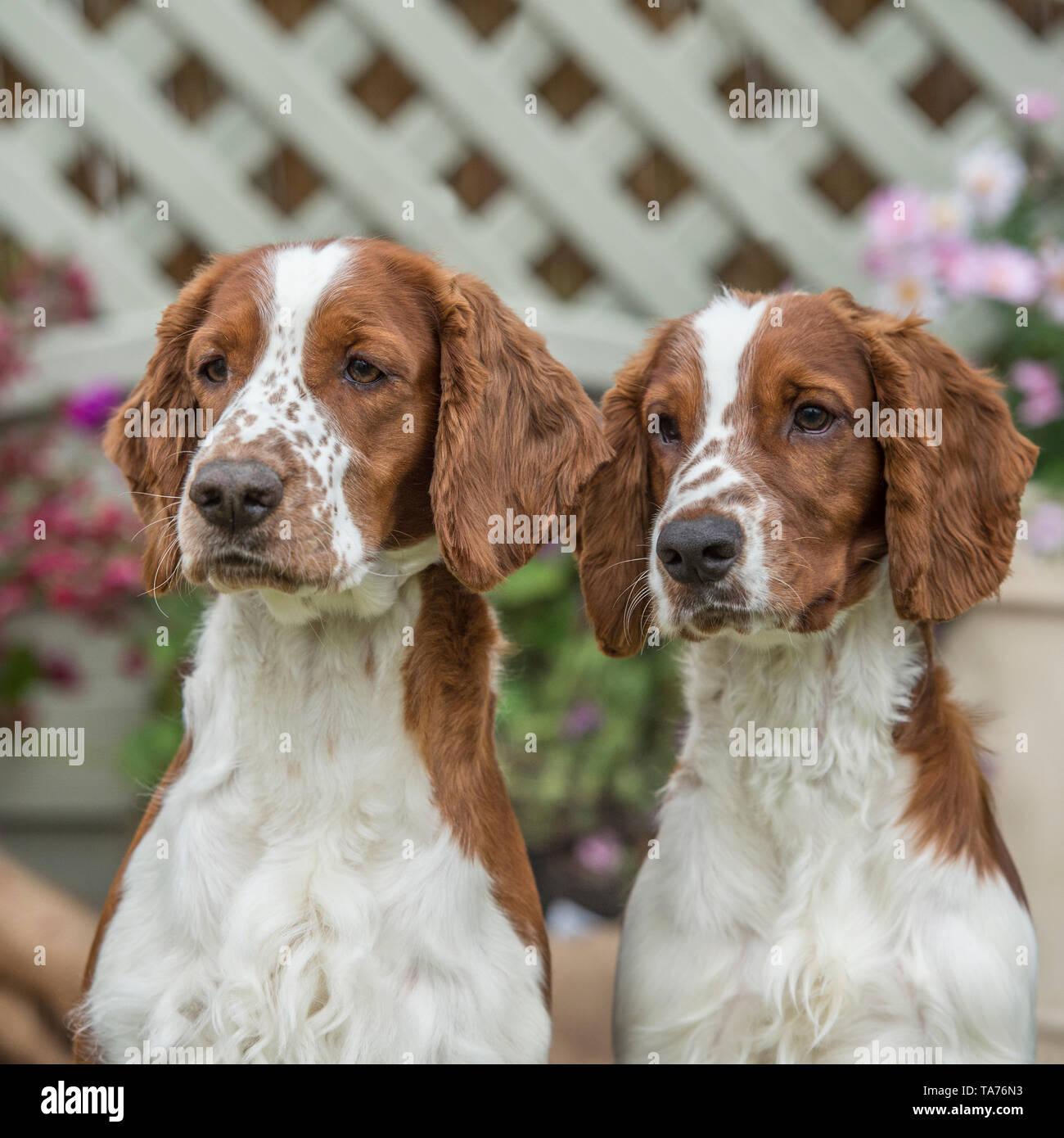 welsh springer spaniels - Stock Image