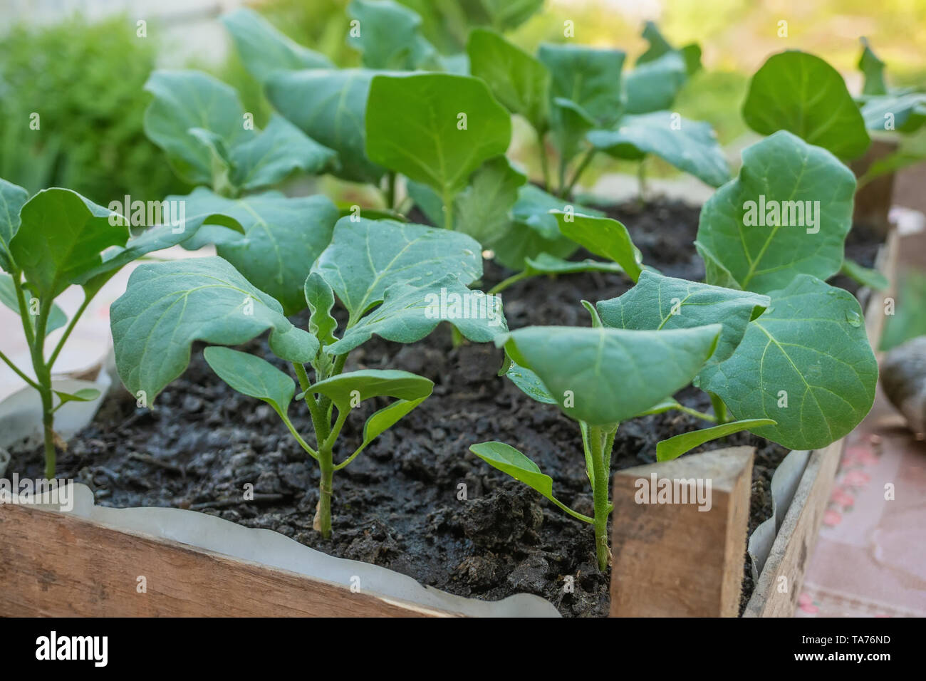 Eggplant seedlings in a cardboard eco-friendly container are ready for planting in a greenhouse. Spring work in the garden. - Stock Image