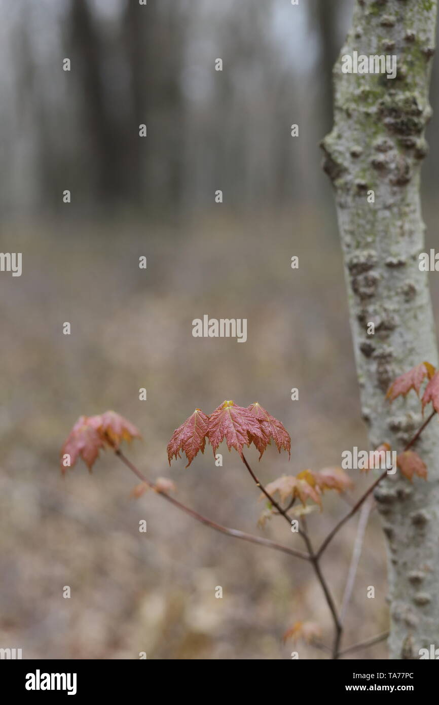 Emerging maple leaves against a forested background - Stock Image