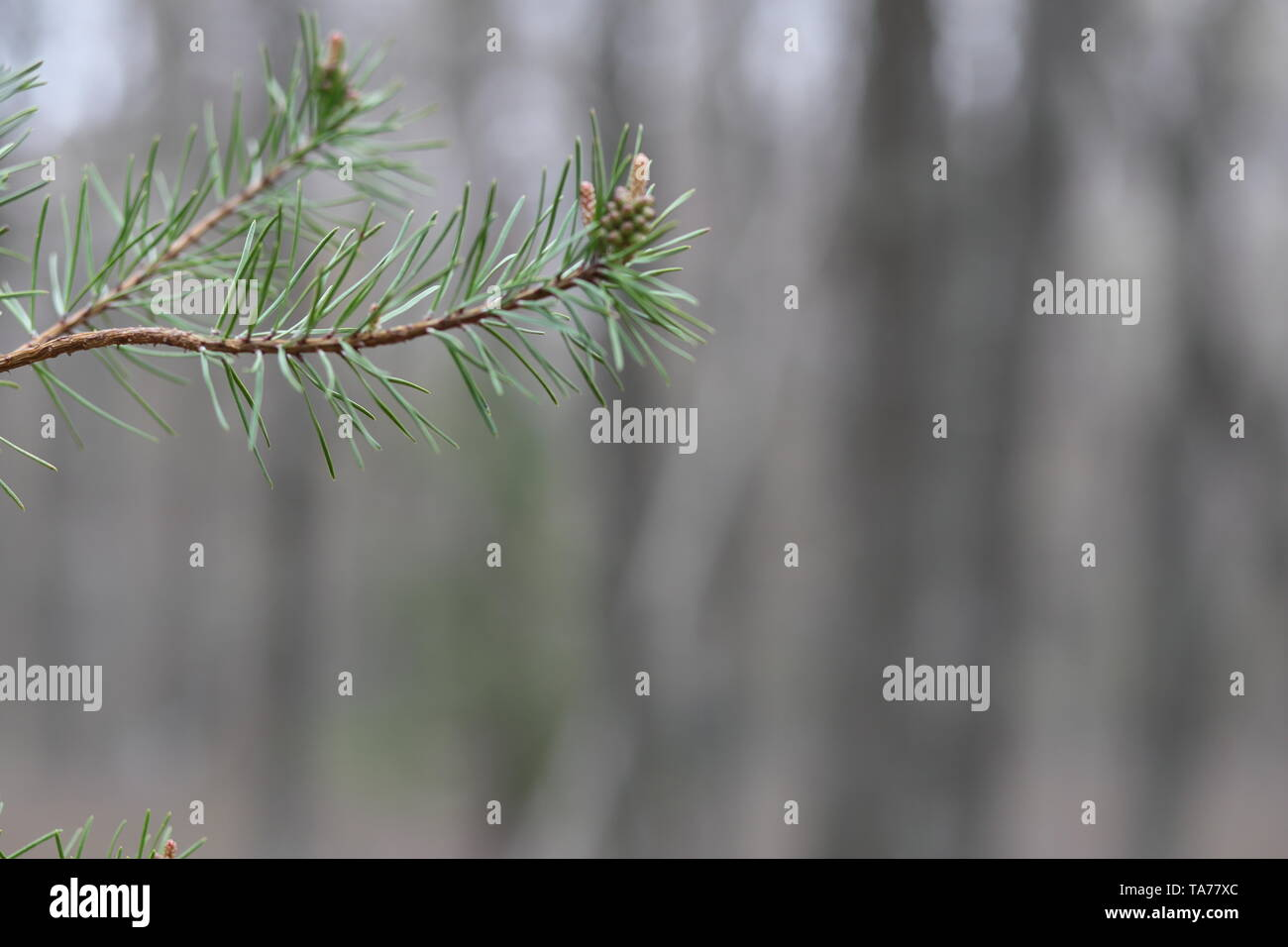 Closeup of a pine branch against a blurred background of trees - Stock Image