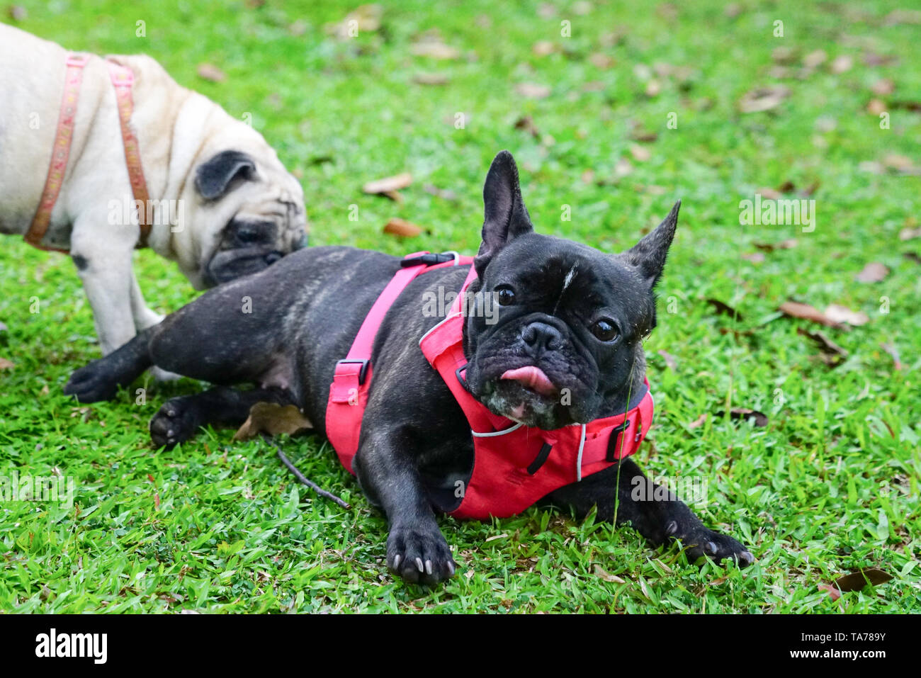 Black French Bulldog relaxing on a green field, socializing with a pug - Stock Image