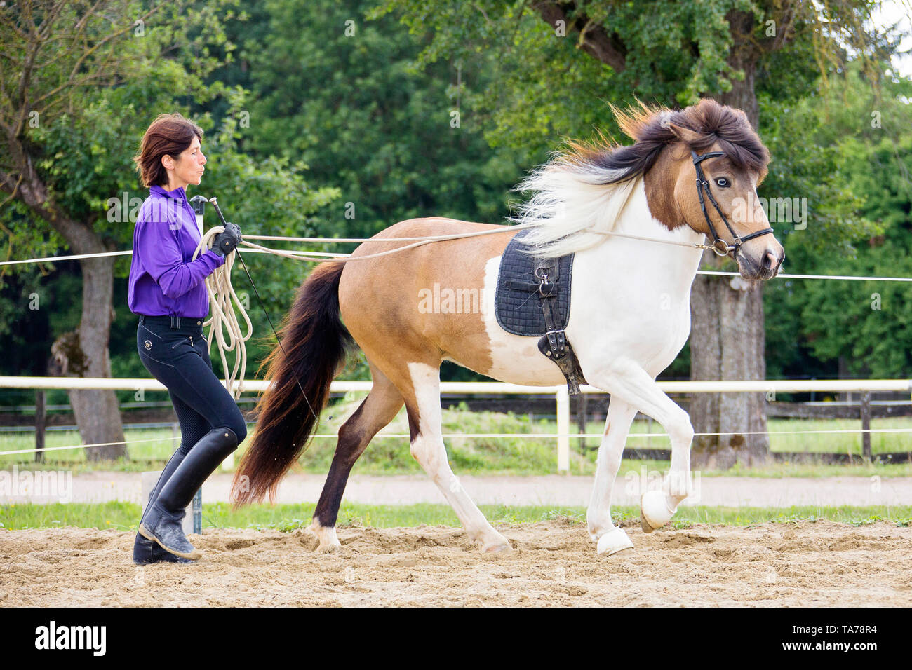 Icelandic Horse. Training of pinto mare on long-rein. Austria - Stock Image