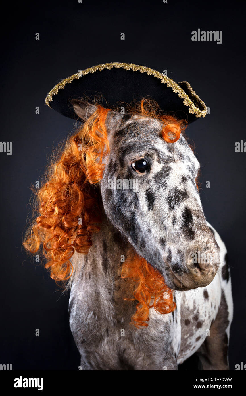 Miniature Appaloosa. Portrait of adult horse, wearing curly wig and tricorne hat. Studio picture against a black background. Germany Stock Photo
