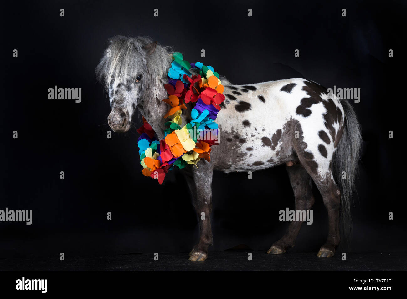 Miniature Appaloosa. Adult horse standing, wearing multicoloured garland Studio picture against a black background. Germany - Stock Image