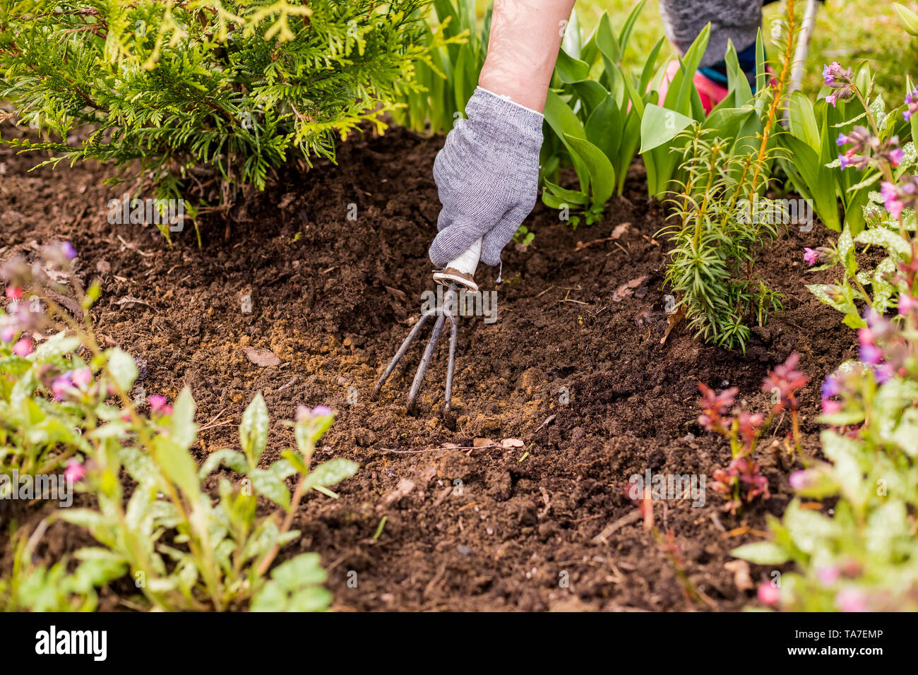 view of a woman's hand hoeing weeds in the garden on a hot summer day, weeding grass, garden and cleaning work in the garden in the spring soil prepar - Stock Image