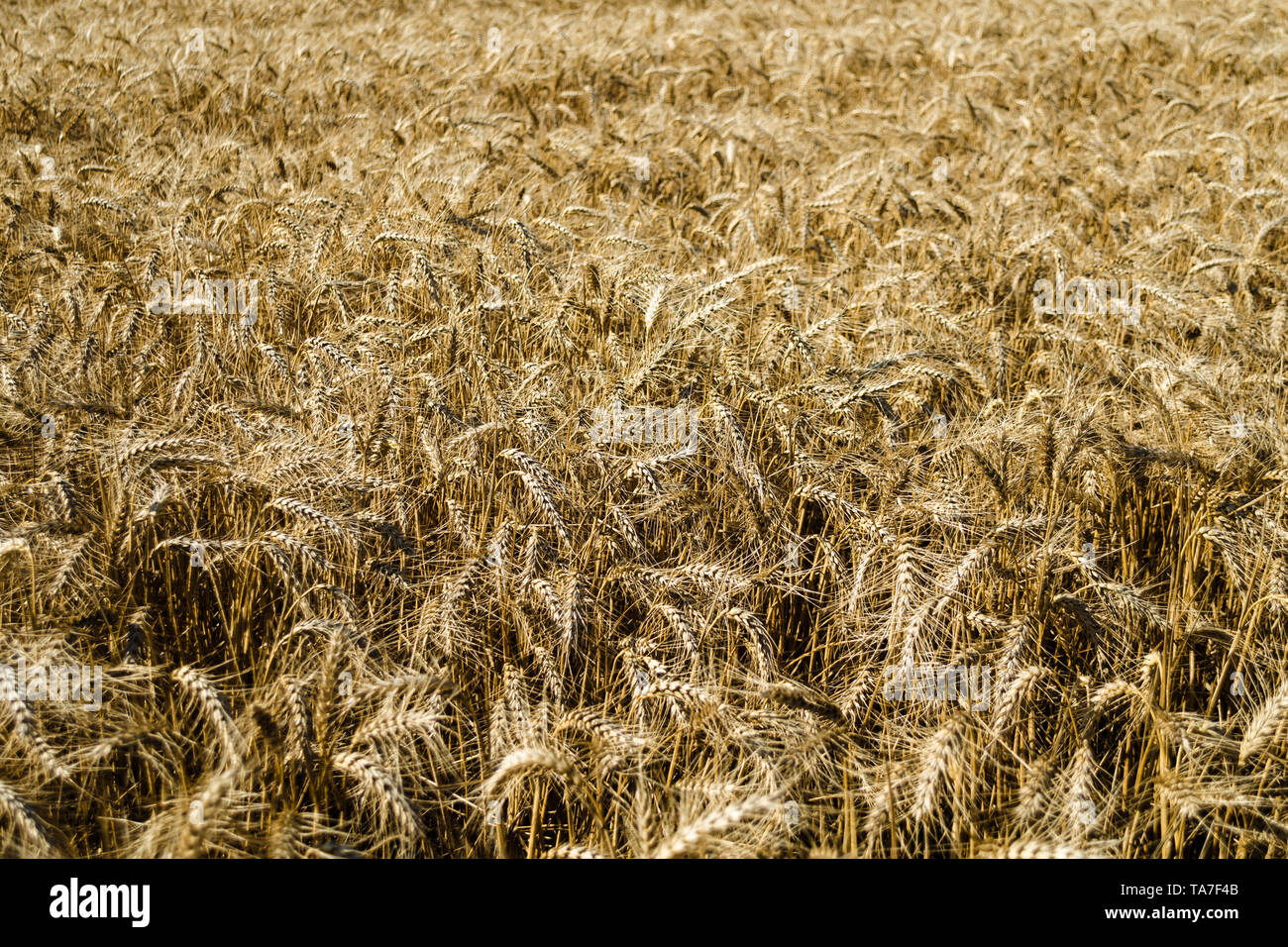 Wide field of golden wheat in summer sunny day. Season of a harvesting. Close up of corn field ready for harvest. Design background. Copy space for te - Stock Image