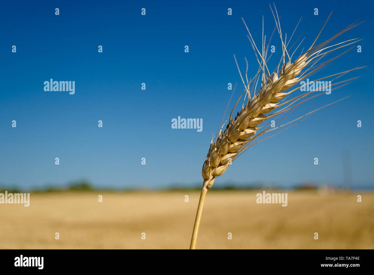 One spikelet of wheat on blue clear sky in a sunny summer hot day in a wide yellow field. Season of a harvesting. Close up of corn field ready for har - Stock Image