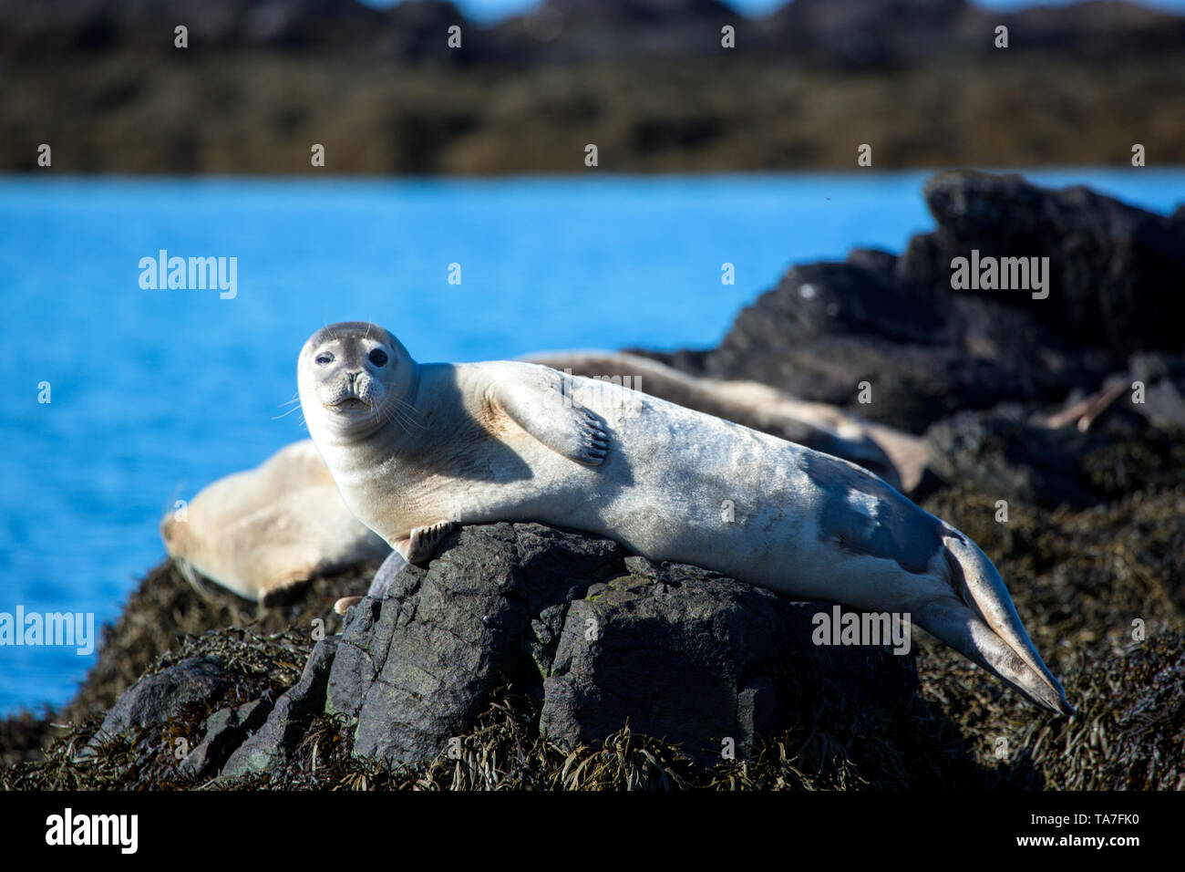 Winking, relaxed seal on stone in Iceland with winterskin Stock Photo