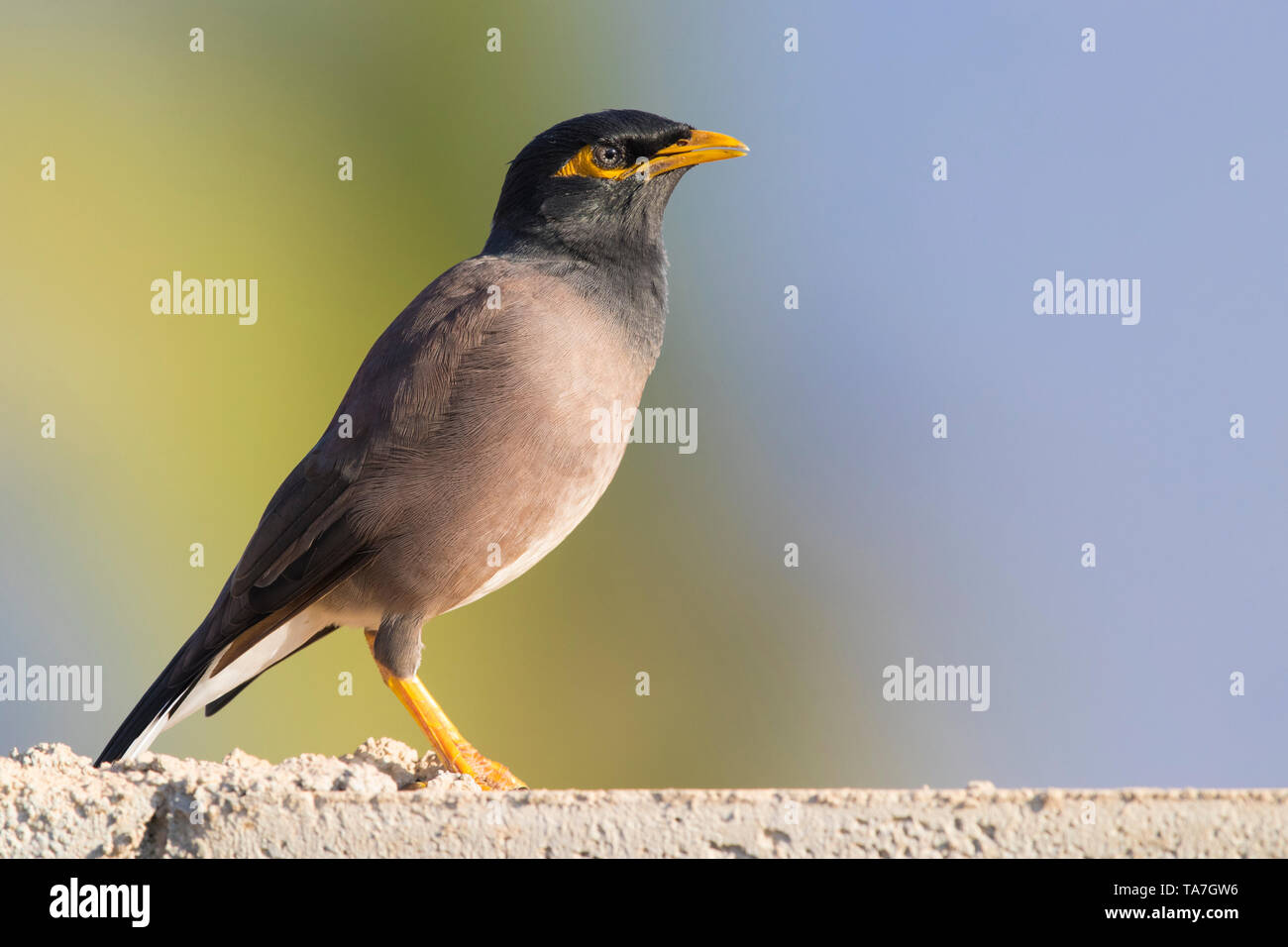 Common Myna (Acridotheres tristis), side view of an adult standing on a wall - Stock Image