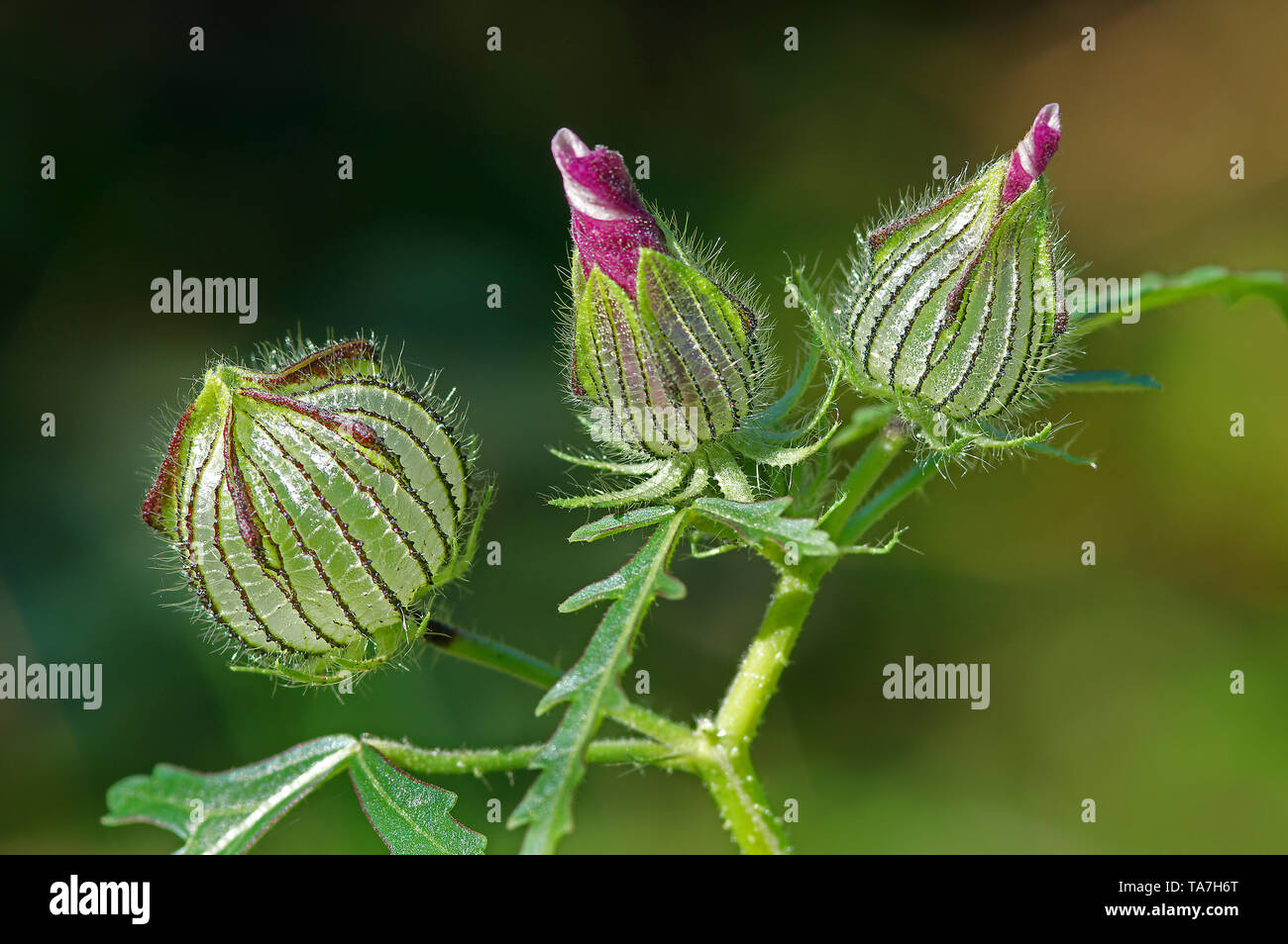 Cut-leaved Mallow, Hollyhock Mallow (Malva alcea), two flower buds and fruit (left). Germany Stock Photo