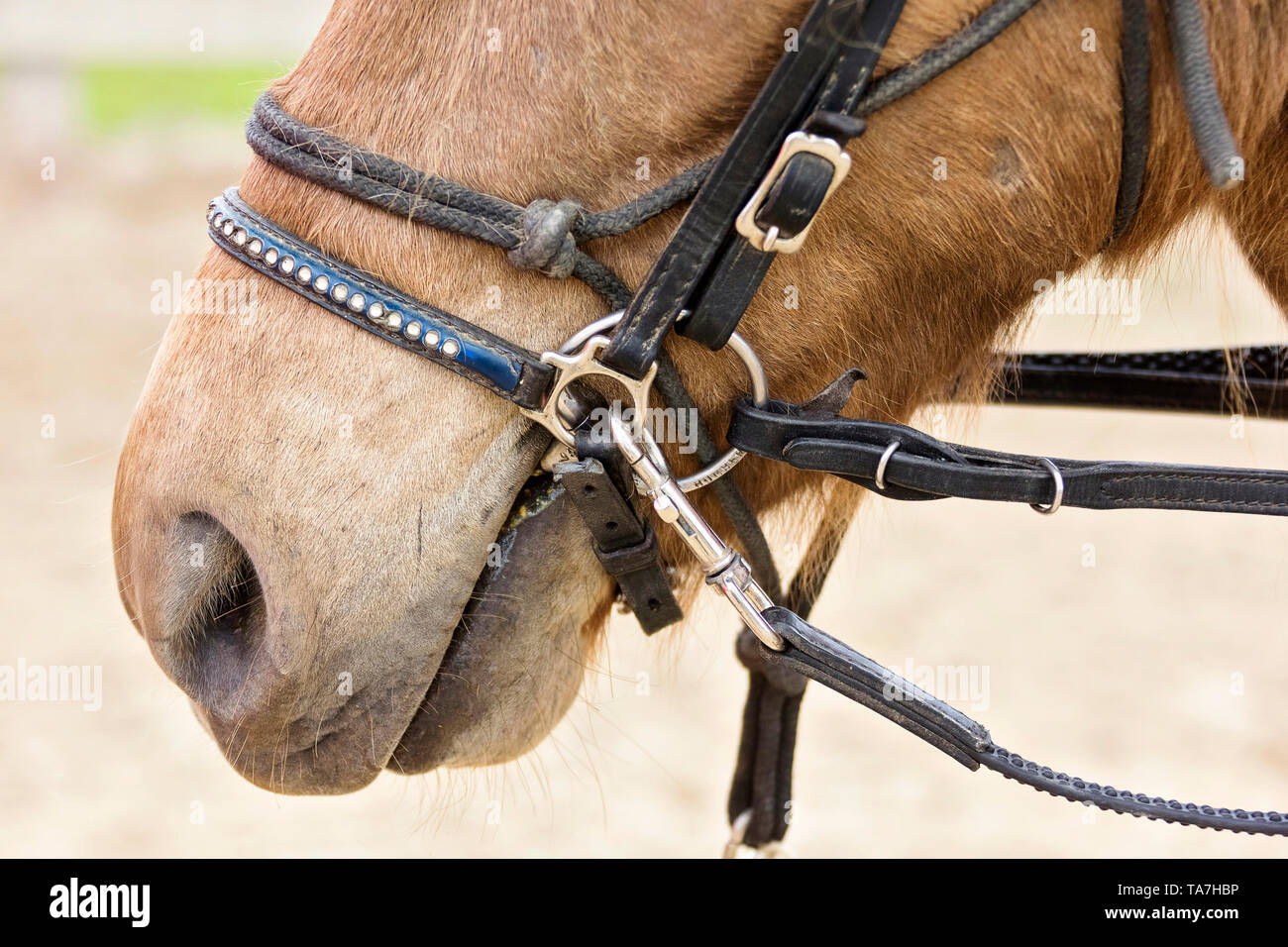 Icelandic Horse. Juvenile dun horse being trained, wearing rope halter, snaffle bit and lunge. Austria - Stock Image