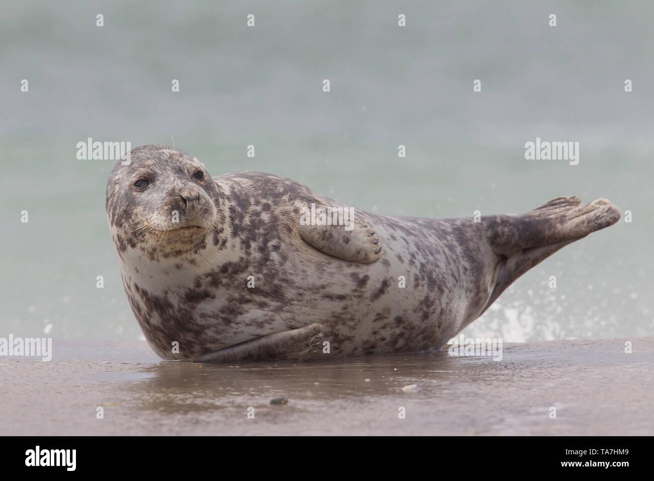 Grey Seal (Halichoerus grypus). Female in surf. Helgoland, Germany Stock Photo
