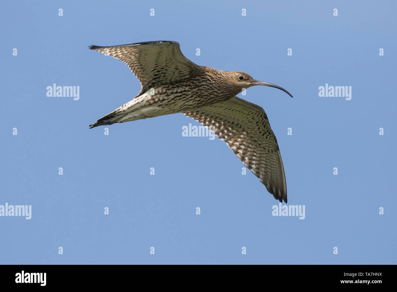 Curlew (Numenius arquata) in flight. Germany Stock Photo