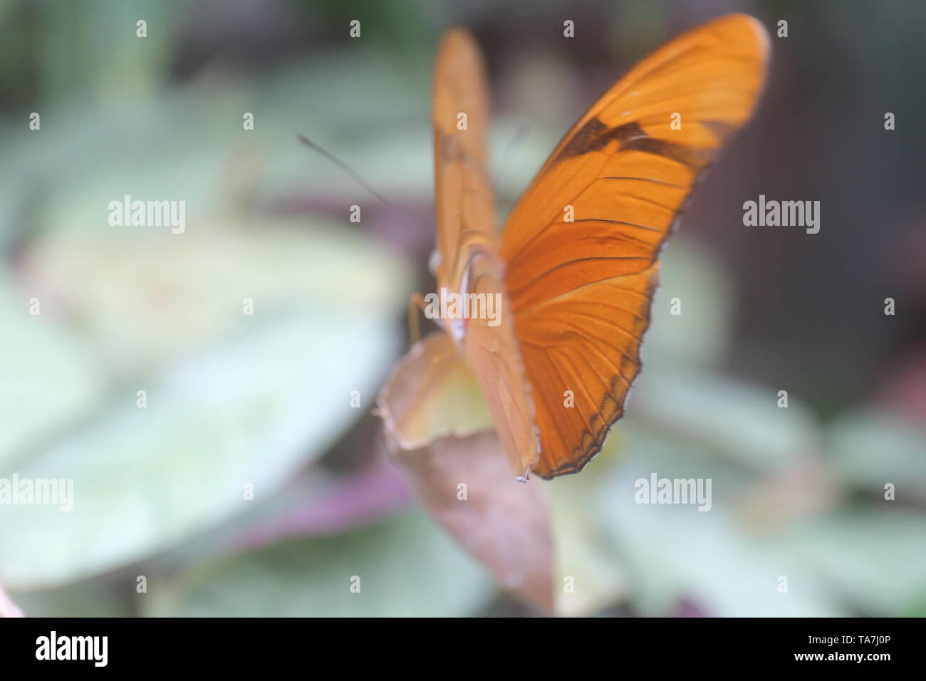 Orange butterfly facing outward with its wings partially opened - Stock Image