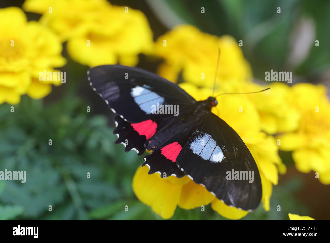 Black, scarlet, and white butterfly feeding on a yellow flower - Stock Image
