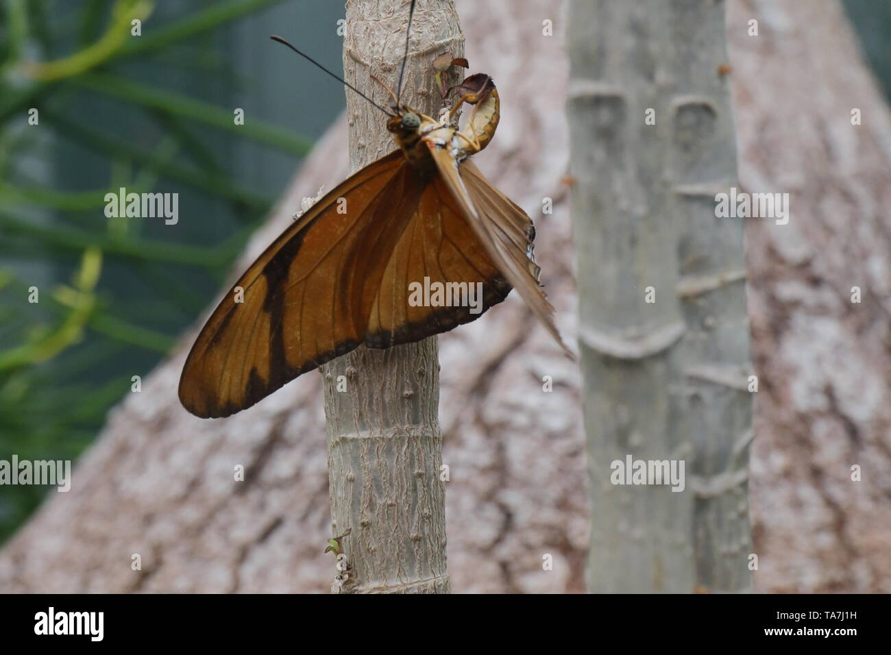 Orange julia butterfly laying an egg on a plant leaf - Stock Image
