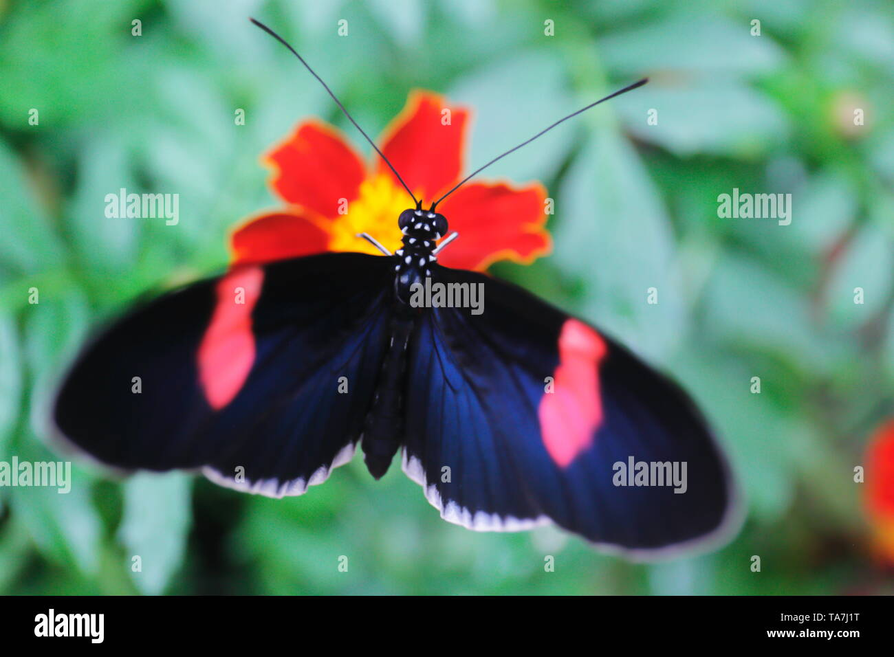 Iridescent blue and pink longwing butterfly drinking nectar from a red and yellow flower - Stock Image