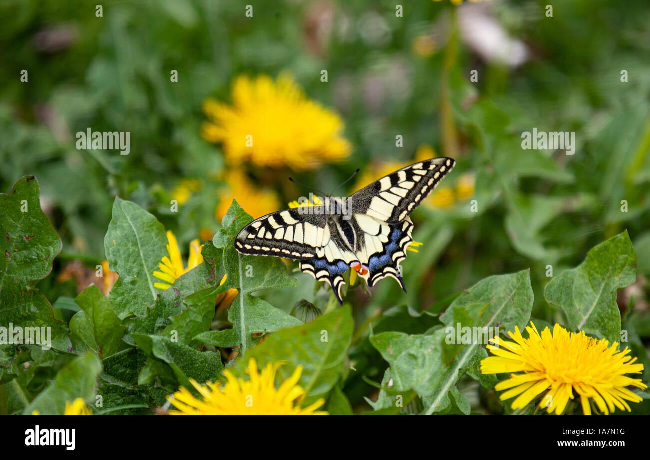Schwalbenschwanz, Papilio machaon - Stock Image