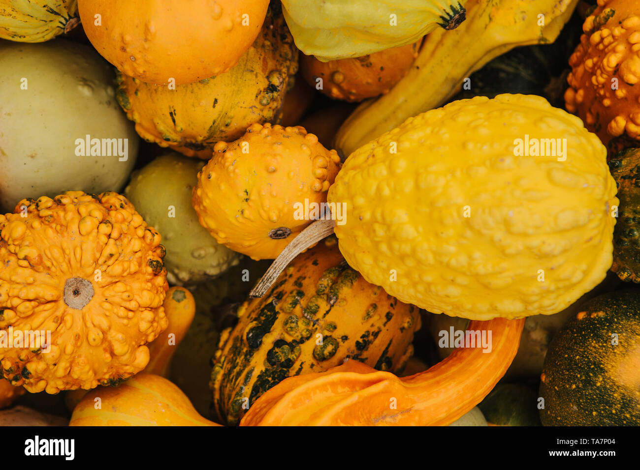 Autumn composition of various kinds of patissons. Background - Stock Image