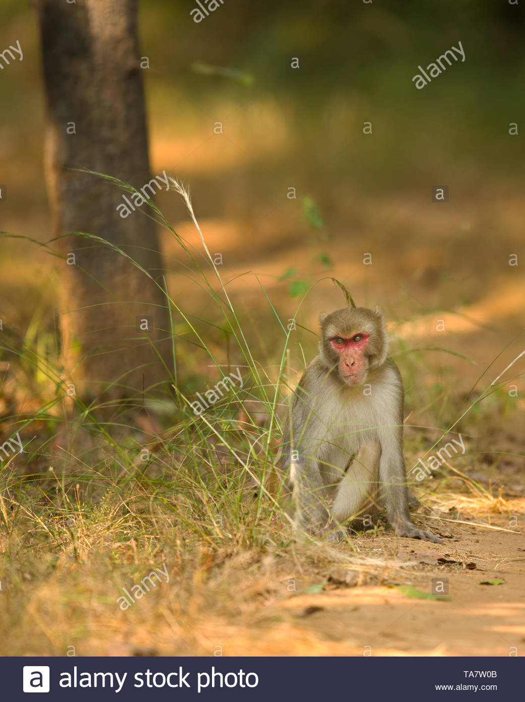 angry look of macaque ... The rhesus macaque is one of the best-known species of Old World monkeys. - Stock Image