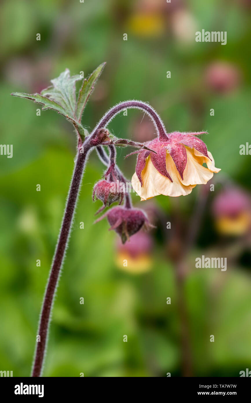 Scarlet avens / Chilean avens / Double Bloody Mary / Grecian rose (Geum chiloense / Geum quellyon) in flower, native to Chile - Stock Image