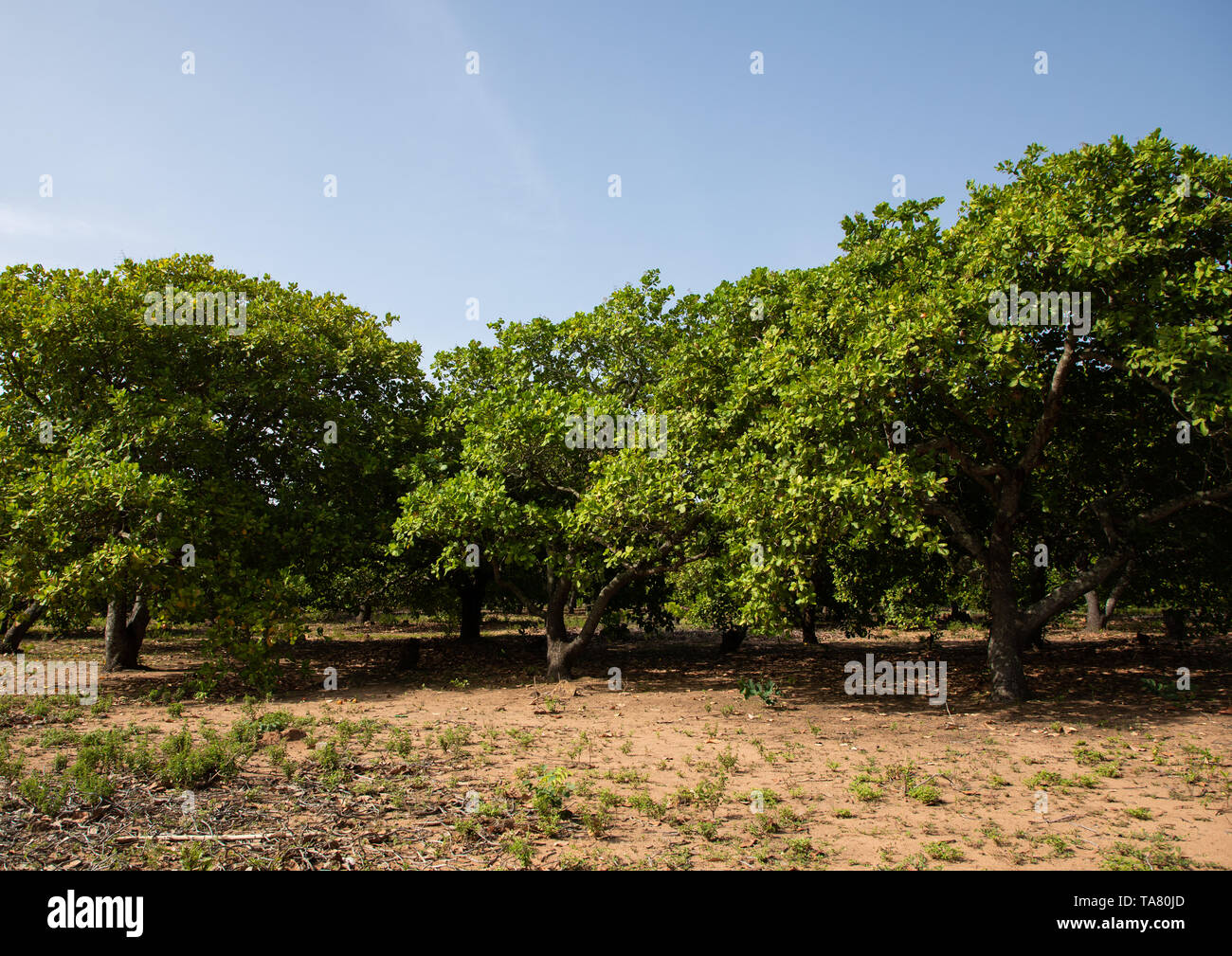 Plantation of shea butter or karite trees, Savanes district, Shienlow, Ivory Coast Stock Photo