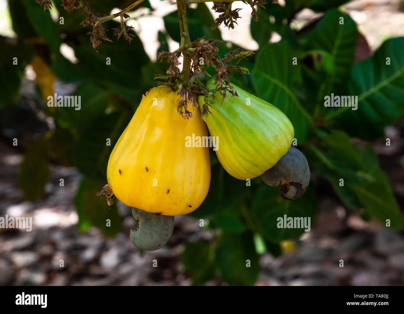 Fruits of shea butter tree, Savanes district, Shienlow, Ivory Coast Stock Photo