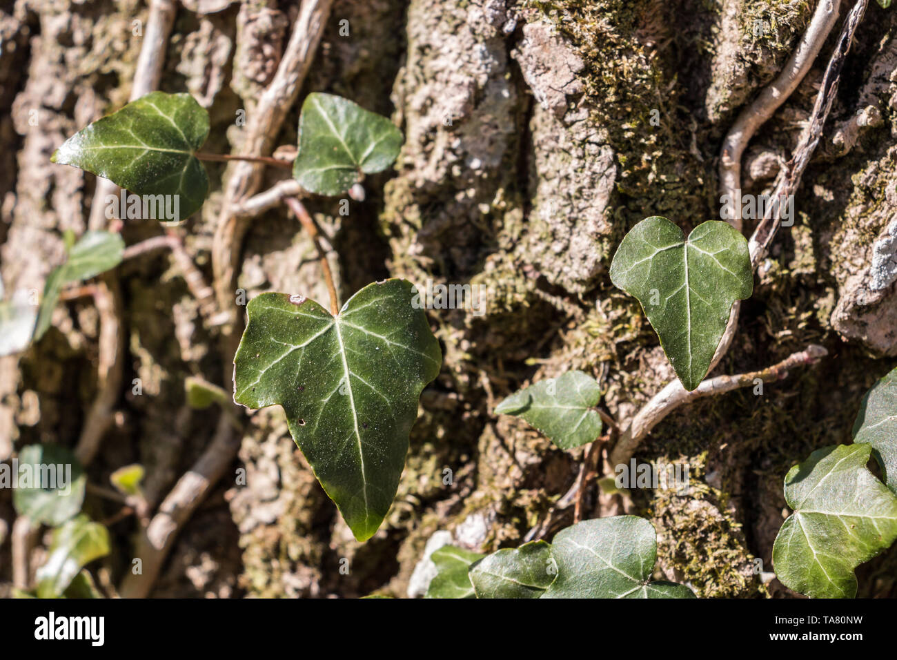 Green ivi and moss on a big tree trunk in the middle of the forest - Stock Image