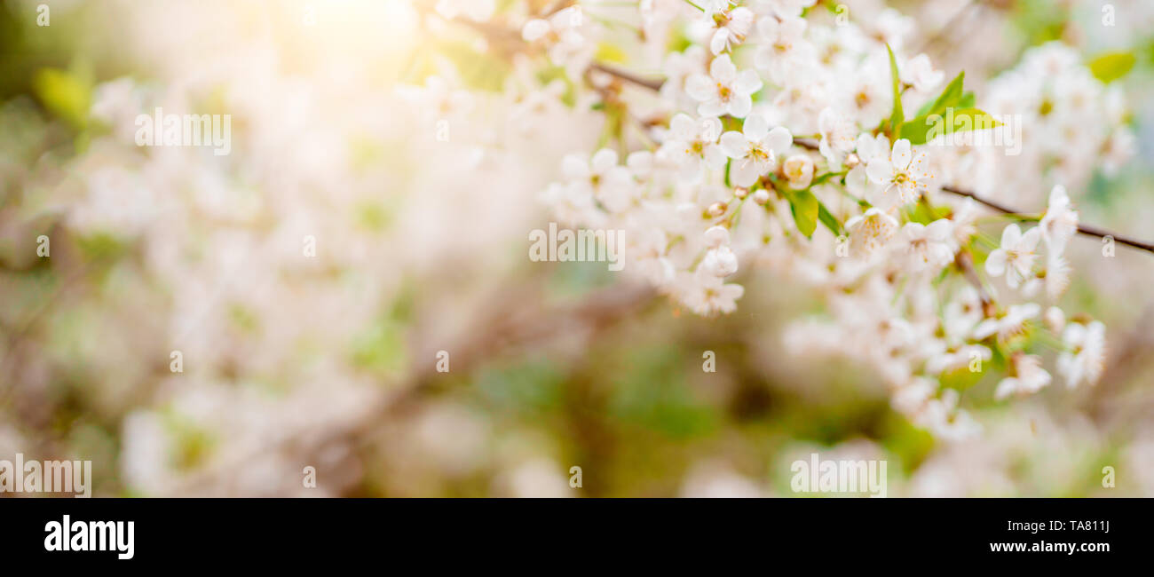 Photo of white lilac on blurred background by day - Stock Image