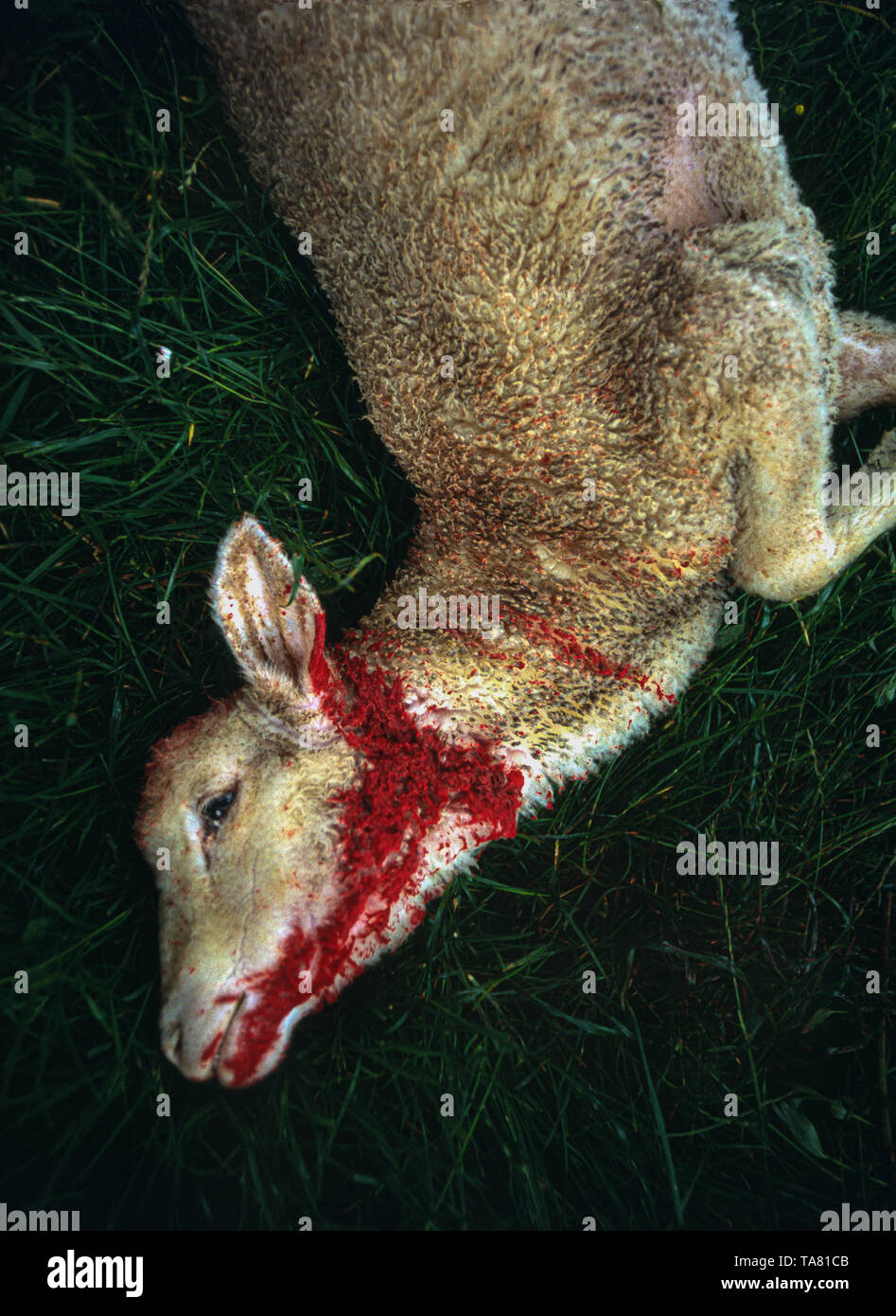 lamb slaughtered for Easter. The Silence of the Lambs. Abruzzo - Stock Image