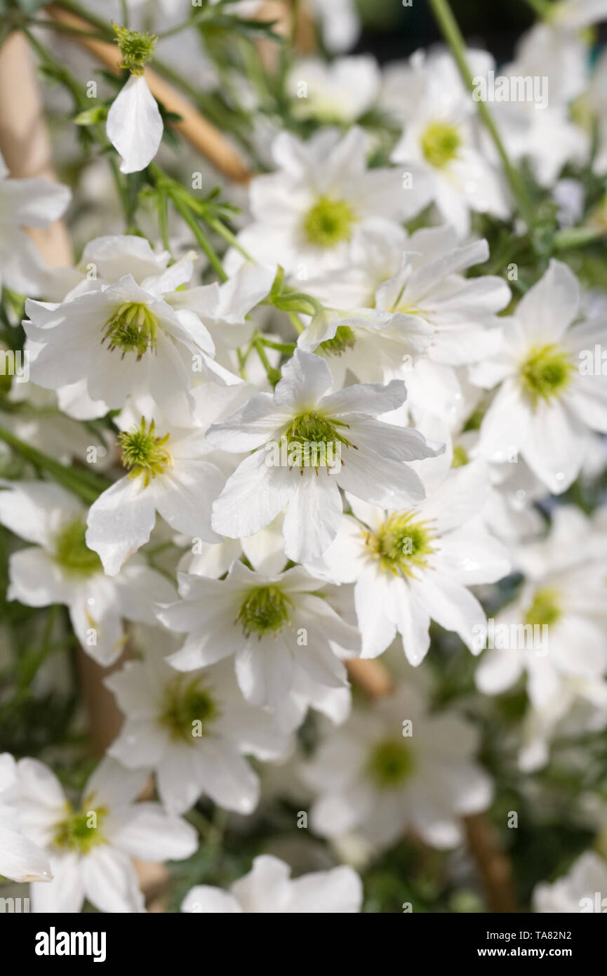 Clematis 'Early Sensation' flowers. - Stock Image