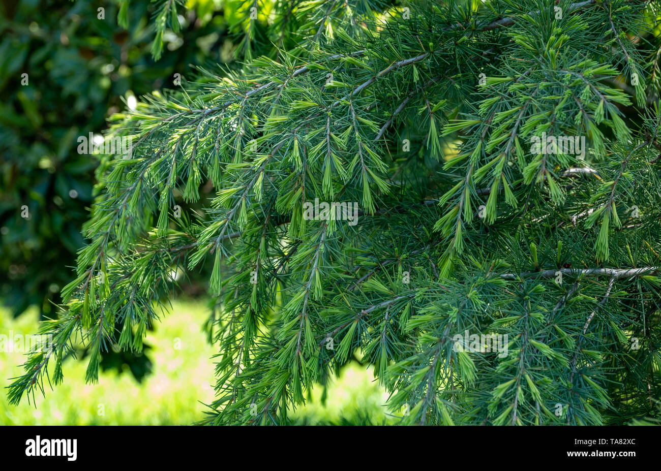 Fresh young fir branches in spring. Background image. - Stock Image
