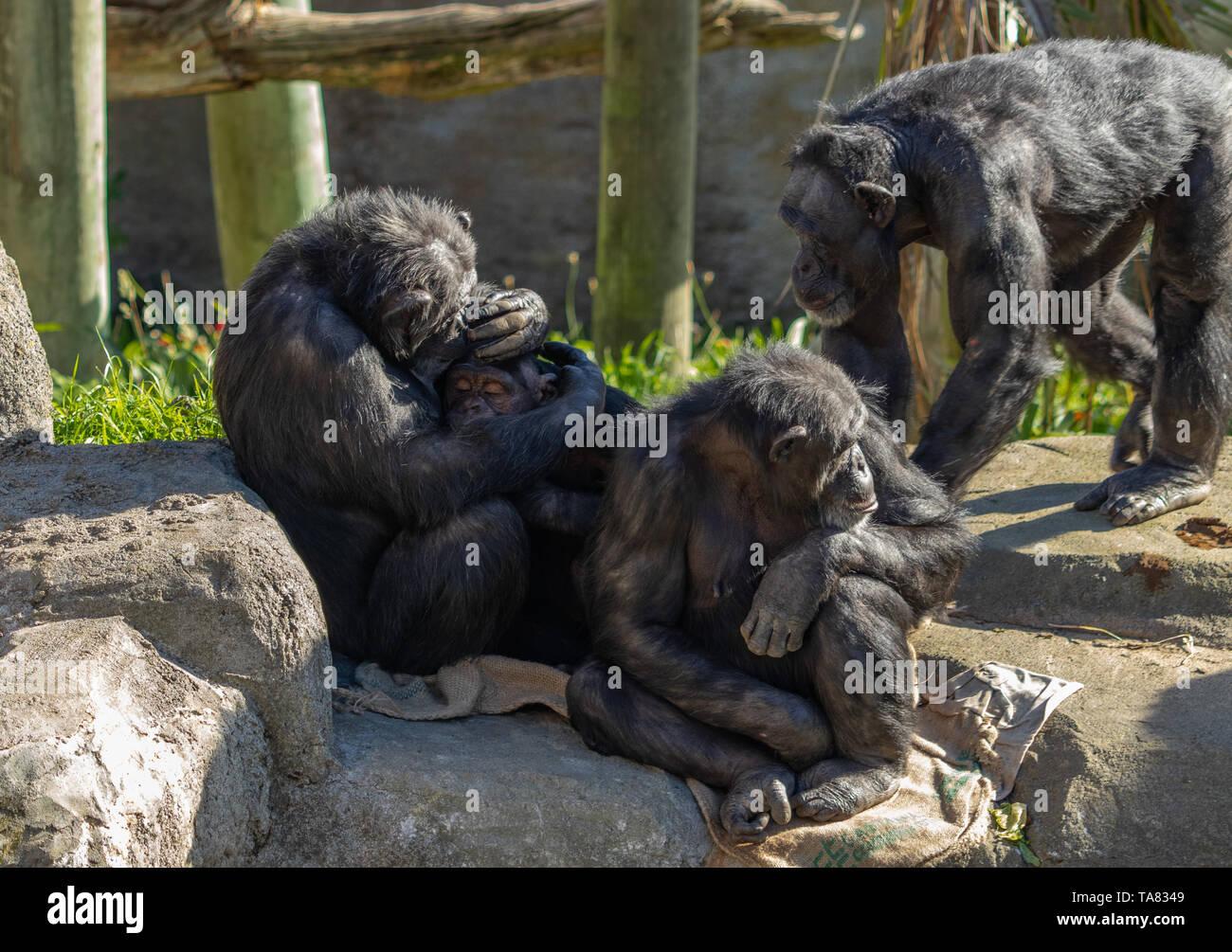 Chimp cuddling baby - Stock Image